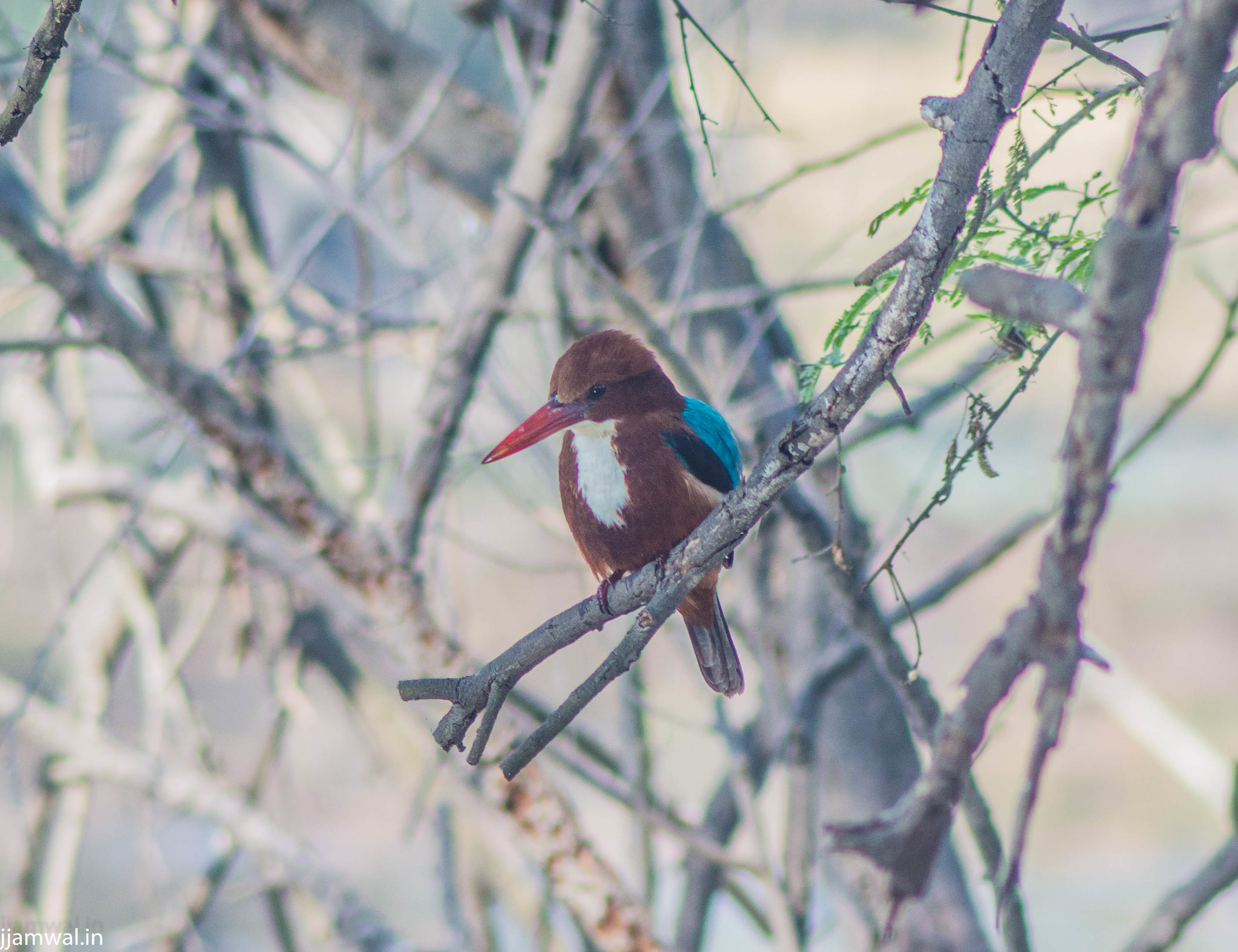 White-thoated Kingfisher (Halcyon smyrnensis)