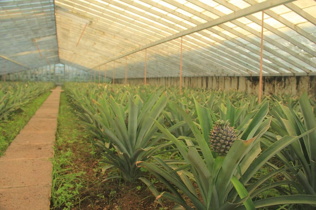 Arruda Açores pineapple plantation, Sao Miguel
