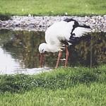 2011:09:19 18:15:05 - Storch am Wasser