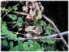 Dehiscent seedpods of Adenanthera pavonina (Red Lucky Seed, Acacia Coral, Curly Bean, Red Bead/Coral Bean Tree, Red Sandalwood, Peacock Flower Fence) exposing its red seeds, 6 Feb 2018
