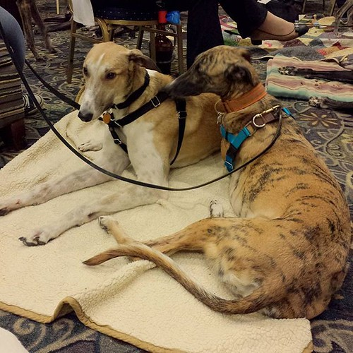 More greyhounds! 😍😍😍 #greyhound #grapehounds #winterhounds