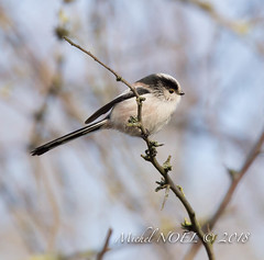 Mésange à longue queue - Aegithalos caudatus - Long-tailed Tit : Michel NOËL © 2018-7878.jpg