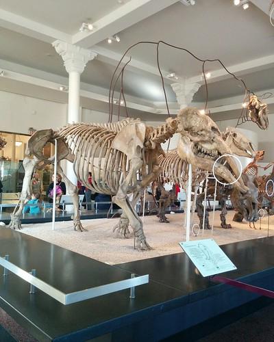 Gomphotherium #newyorkcity #newyork #manhattan #amnh #fossil #gomphotherium #mammal #extinct #americanmuseumofnaturalhistory #latergram