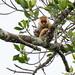 Phalangeridae: Spilocuscus papuensis (Waigeo Cuscus)