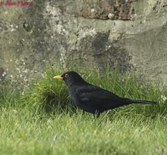HolderMale Blackbird