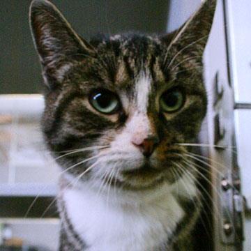 Animal ID 37709778 Species Cat Breed Domestic Shorthair/Mi