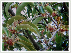 Dendrophthoe pentandra (Malayan Mistletoe, Mango Mistletoe, Mistletoe Plant) is a parasitic and woody shrub that can grow up to 2 m tall, 28 Jan 2018