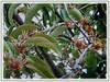 Dendrophthoe pentandra (Malayan Mistletoe, Mango Mistletoe, Mistletoe Plant)