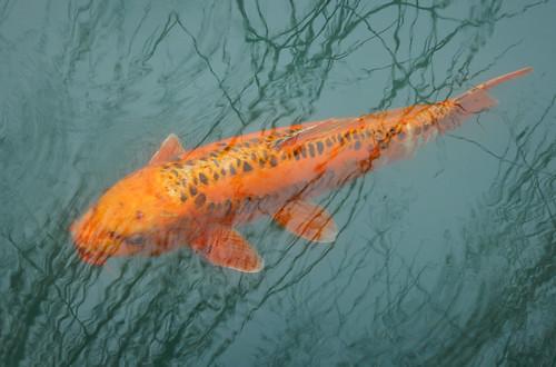 Golden fish floating in a jade pool in the Sun Yet Sen Garden in Vancouver's Chinatown