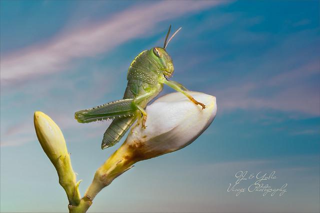 Egyptian Grasshopper, Nikon D500, AF-S VR Micro-Nikkor 105mm f/2.8G IF-ED