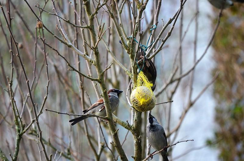 Sparrows 25.01.2018