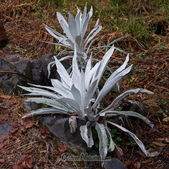 plants 0003 balneario Tambo, Papallacta, Ecuador