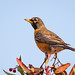 Small photo of American Robin