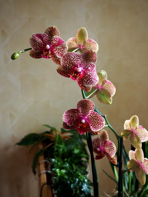 Les Orchidées chez Cloo en 2018 - Page 4 39587548035_eb07f969d3_o