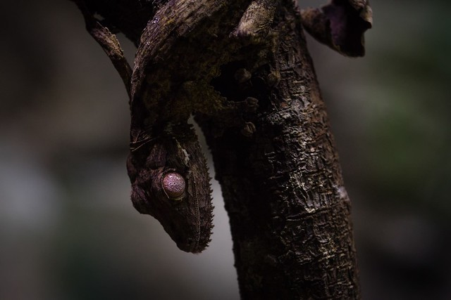 Leaf-tailed Gecko, Singapore Zoo