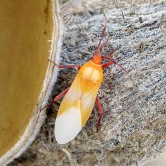Freshly Molted Milkwed Bug