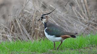 Abibe - Vanellus vanellus - Lapwing