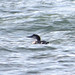 Gavia immer Great Northern Diver