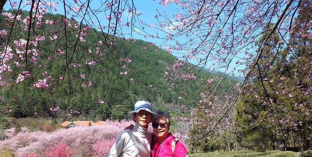 武陵農場櫻花金鳳拍( 2)