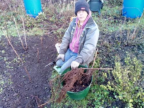 planting raspberries Jan 18 (2)