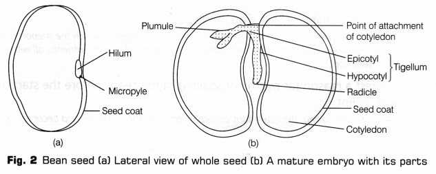 Cbse Class 10 Science Lab Manual - Dicot Seed