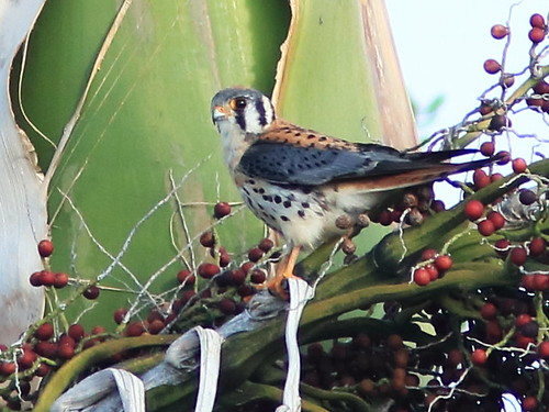 American Kestrel male on Royal Palm 01-20180205