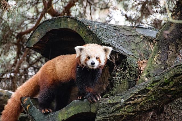 Red Panda Day
