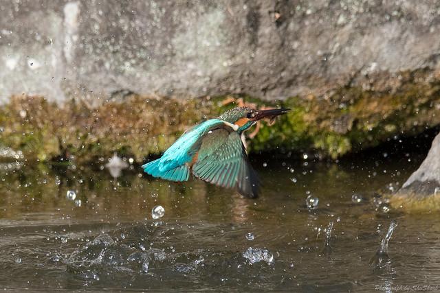 20180211-kingfisher-DSC_8205