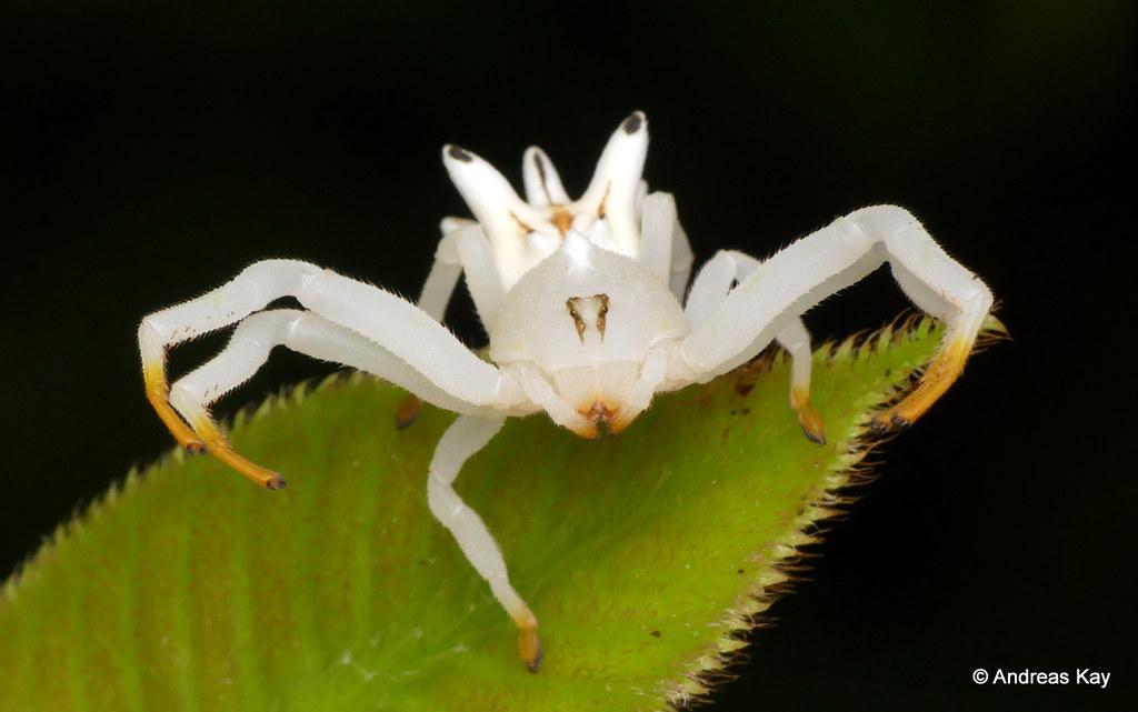 Crab Spider, Epicadus heterogaster