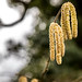 Day 49 - Catkins