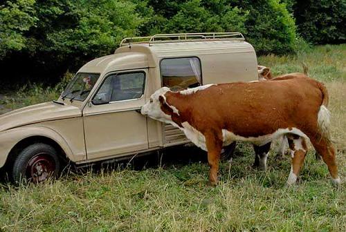dyane+cow