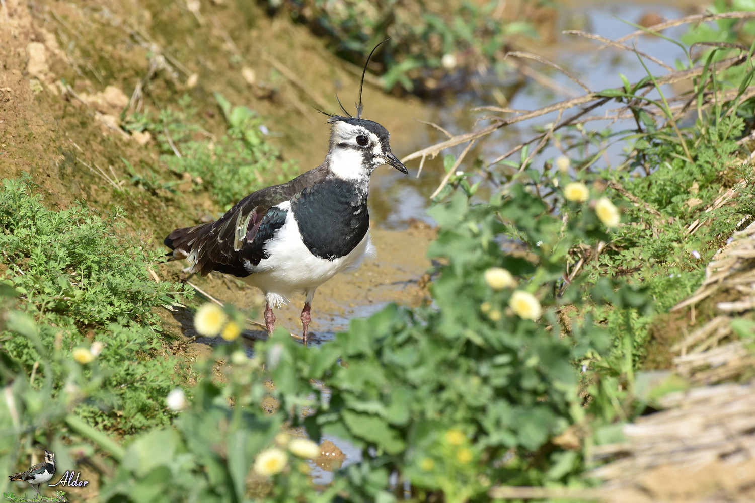 Northern_Lapwing_8070