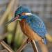 Kingfisher, Male-