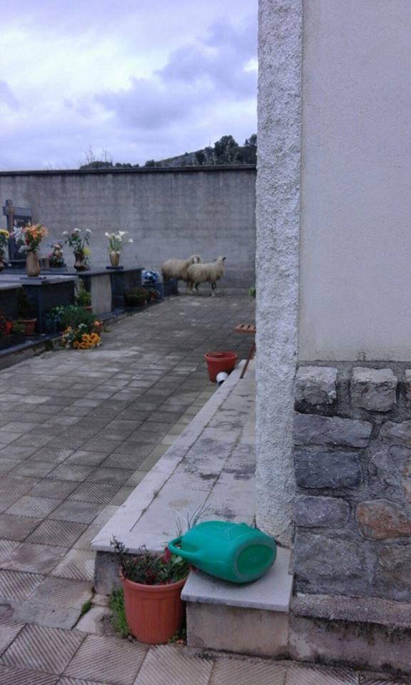 pecore al cimitero di Vibonati