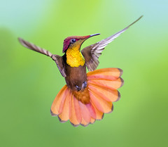 Hummingbirds in Flight / Colibris en Vuelo