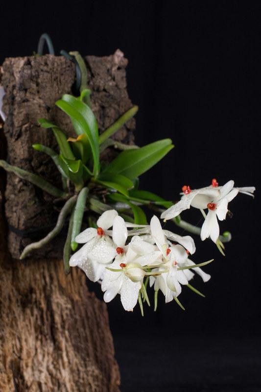 Miniatur-Orchideen Teil 4 - Seite 5 26327988918_62fd779d4d_c