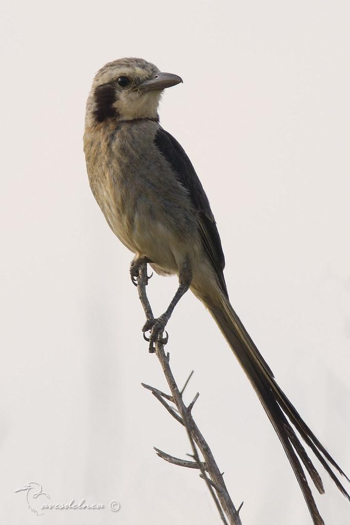 Yetapá grande (Streamer-tailed Tyrant) Gubernetes yetapa