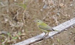 Tennessee warbler - Paruline obscure - Reinita de Tennessee - Oreothlypis peregrina