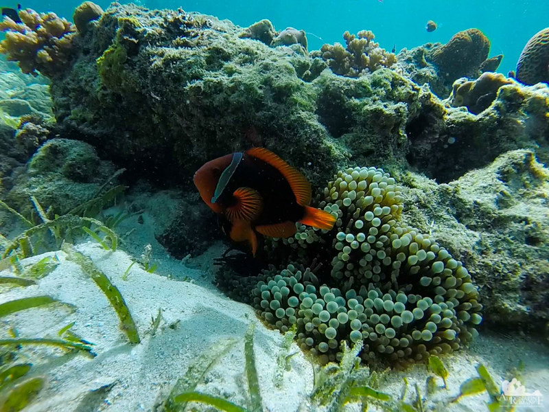 Colorful anemone fish guarding its anemone home