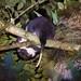 Phalangeridae: Phalanger vestitus (Stein's Cuscus)
