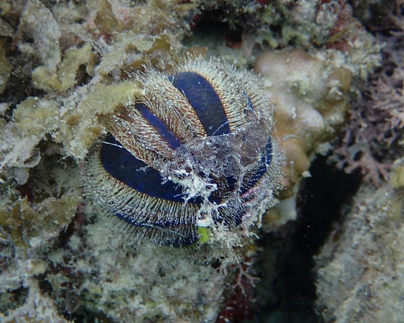 Blue Taxedo (Globe) Sea Urchin_Морской еж-глобус