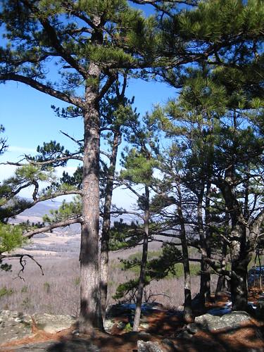 Pinus echinata Shortleaf Yellow Pine Newton Co AR (6)