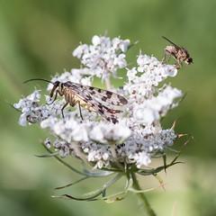 Mouche scorpion / Panorpa communis