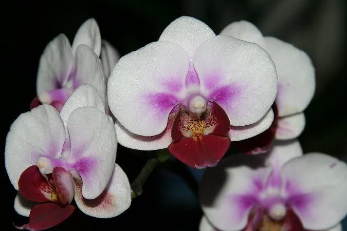 Les orchidées chez Sougriwa - Page 3 39109049464_0dc3d153e6_b