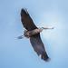 Great Blue Heron by D Alexander Photos