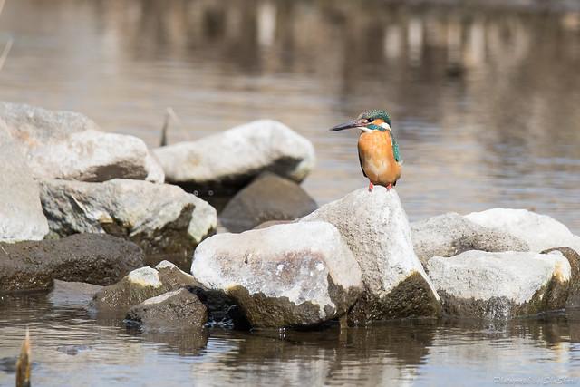 20180212-kingfisher-DSC_9052