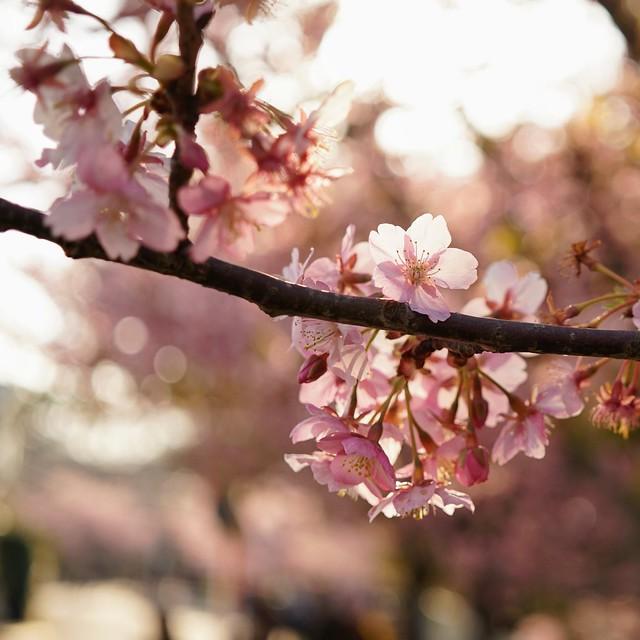 DSC07075三浦海岸桜まつり
