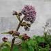Winter Heliotrope - Petasites fragrans
