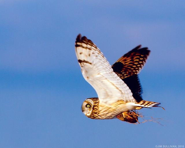 Short Eared Owl by Jim Sullivan