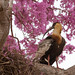 Curicaca | Bandurria Boreal